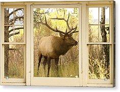 Bull Elk Window View Acrylic Print by James BO  Insogna