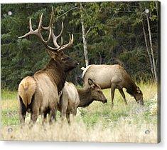 Bull Elk With His Harem Acrylic Print by Bob Christopher