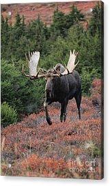 Bull Moose In Autumn Acrylic Print by Tim Grams