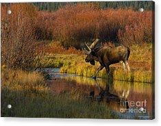Bull Moose Acrylic Print by Thomas and Pat Leeson