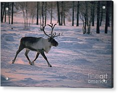 Bull Reindeer In  Siberia Acrylic Print by Bryan and Cherry Alexander