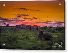 Bull Sunset Acrylic Print by Marvin Spates