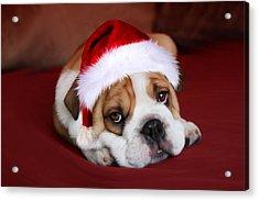 Bully For Santa Acrylic Print by Julie L Hoddinott