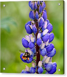 Bumble Bee And Lupine Acrylic Print by Art Block Collections