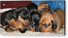 Bunch Of Puppies Acrylic Print by Anthony Kougl