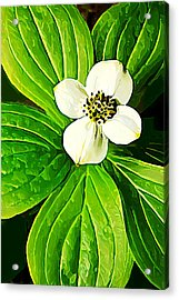 Bunchberry Blossom Acrylic Print by Bill Caldwell -        ABeautifulSky Photography