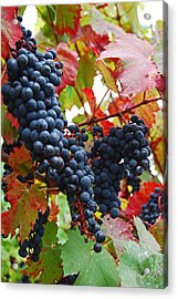 Bunches Of Grapes Acrylic Print by Jani Freimann