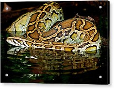 Burmese Python, Python Molurus Acrylic Print by David Northcott