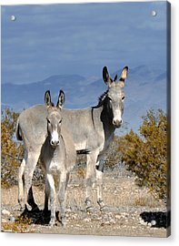 Burro And Baby Acrylic Print by Diane Wood