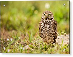Burrowing Owl Looking After Its Home Acrylic Print by Andres Leon