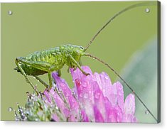 Bush Cricket Acrylic Print by Heath Mcdonald
