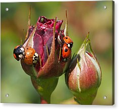 Busy Ladybugs Acrylic Print by Rona Black