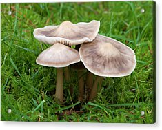 Butter Cap Acrylic Print by Nigel Downer