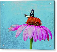 Butterfly And Coneflower On Turquoise Acrylic Print by Dan Holland