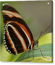 Butterfly Autumn With Green Head Acrylic Print by Gail Matthews
