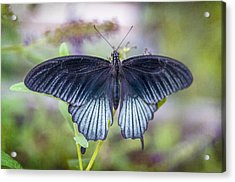 Butterfly II Acrylic Print by Diane Wood