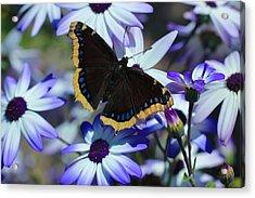 Butterfly In Blue Acrylic Print by Heidi Smith