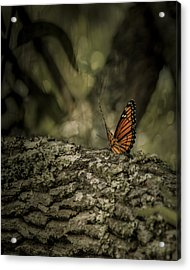 Butterfly Acrylic Print by Mario Celzner