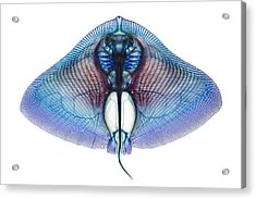 Butterfly Ray Acrylic Print by Adam Summers