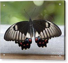 Butterfly Acrylic Print by Steven Ralser