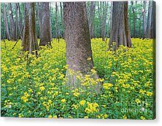 Butterweed Blooming In Congaree Acrylic Print by Jeff Lepore