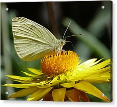 Cabbage White On Yellow Daisy Acrylic Print by Margaret Saheed