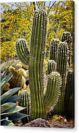 Cacti Habitat Acrylic Print by Kelley King