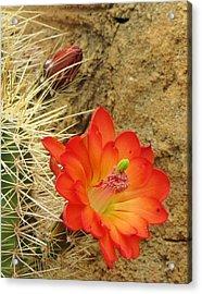 Cactus Flower Bright Acrylic Print by Feva  Fotos