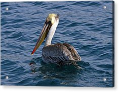 California Brown Pelican Acrylic Print by Shoal Hollingsworth
