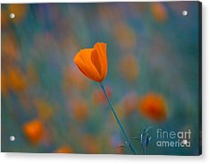 California Poppy Acrylic Print by Anthony Bonafede
