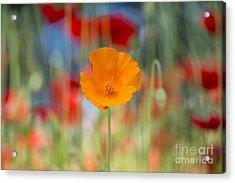 California Poppy Acrylic Print by Tim Gainey