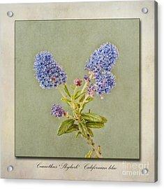 Californian Lilac Acrylic Print by John Edwards