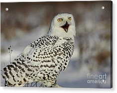 Call Of The North - Snowy Owl Acrylic Print by Inspired Nature Photography Fine Art Photography