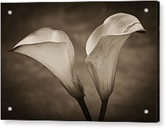Calla Lilies In Sepia Acrylic Print by Sebastian Musial