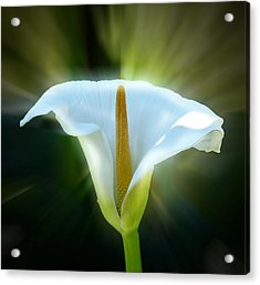 Calla Lily Acrylic Print by Frank Bright