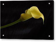 Calla Lily Yellow II Acrylic Print by Ron White