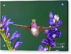 Calliope Hummingbird Stellula Calliope Acrylic Print by Anthony Mercieca