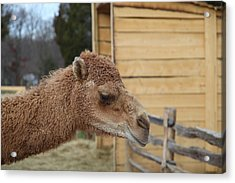 Camel - Mt Vernon - 01132 Acrylic Print by DC Photographer