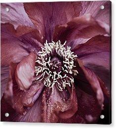 Camellia Acrylic Print by Frank Tschakert