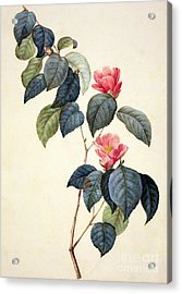 Camellia Japonica Acrylic Print by Pierre Joseph Redoute