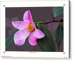 Camellia 'tulip Time' Acrylic Print by Saxon Holt