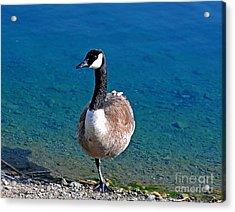 Canada Goose On One Leg Acrylic Print by Susan Wiedmann