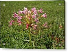 Candelabra Flower (brunsvigia Natalensis) Acrylic Print by Bob Gibbons