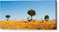 Candelabra Trees Acrylic Print by Adam Romanowicz