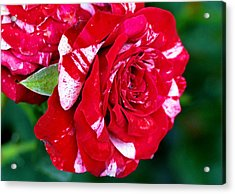 Candy Cane Rose Flower Acrylic Print by Johnson Moya