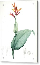 Canna Indica, Baslisier Der Indes Indian Shot, Achira Acrylic Print by Artokoloro