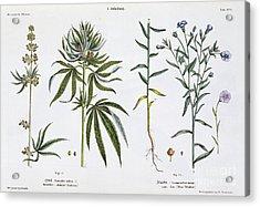 Cannabis And Flax Acrylic Print by Matthias Trentsensky