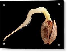 Cannabis Seed Germination Acrylic Print by Antonio Romero