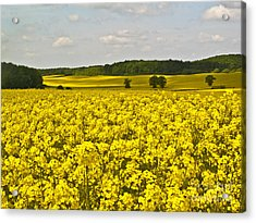 Canola Field Acrylic Print by Heiko Koehrer-Wagner