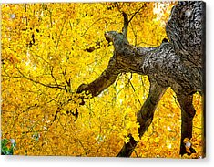 Canopy Of Autumn Leaves Acrylic Print by Tom Mc Nemar